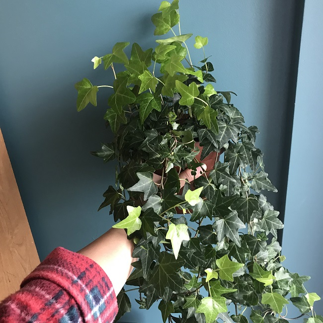 The Wandering Mother Blog | Hedera Helix - Trailing Ivy Houseplant
